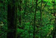 Background - Subtropical Forest, Yew-boxwood Grove With Mossy Tree Trunks