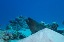 El Quseir: Large Moray Eel Lurking Behind A Sandy Hill On The Bottom Of The Reef Of The Red Sea In Egypt