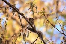 Big Cypress Fox Squirrel Sciurus Niger Avicennia Eats Berries On A Tree
