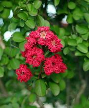 Closeup Red Crape Myrtle Flowe...