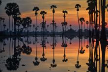 Mirror Of Sugar Palm Trees On ...