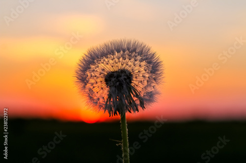 Poster Paardenbloem Dandelion in front of sun at sunset