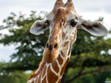 Cute giraffe face in the Calauit Safari Park