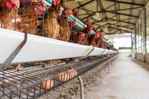 Egg production Canvas Print