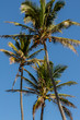 Close up of the tops of palm trees and their coconuts on the north shore of Oahu, Hawaii, USA