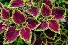Close Up Green And Red Coleus ...