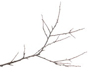 Branch, Twig Isolated On White Background