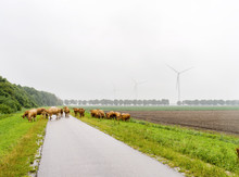 Cows On A Asphalt Road In The Country Side Somewhere In The Netherlands. Wind Turbines In The Background In A Rural Setting.