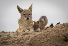 A Mother Jackal With Its New Born Pup At Walvis Bay In Namibia