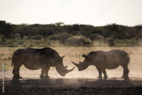 Fotografie, Tablou Two rhino silhouettes at Khama Rhino Sanctuary in Botswana