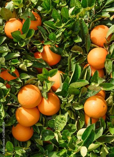 organic culture oranges Fotomurales