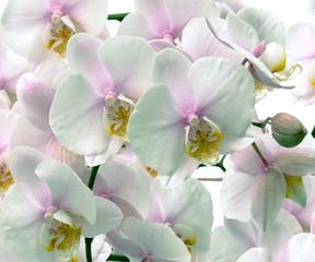 Panel Szklany Podświetlane Egzotyczne Large Orchid flowers