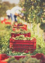 Grape Harvesting In Vineyard. Making Vine Concept.