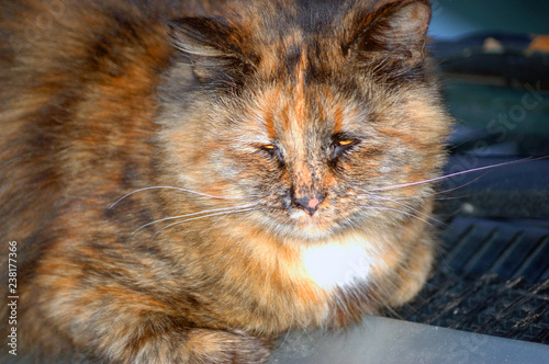 Fotografie, Obraz tricolor cat sleeping on the car in the street