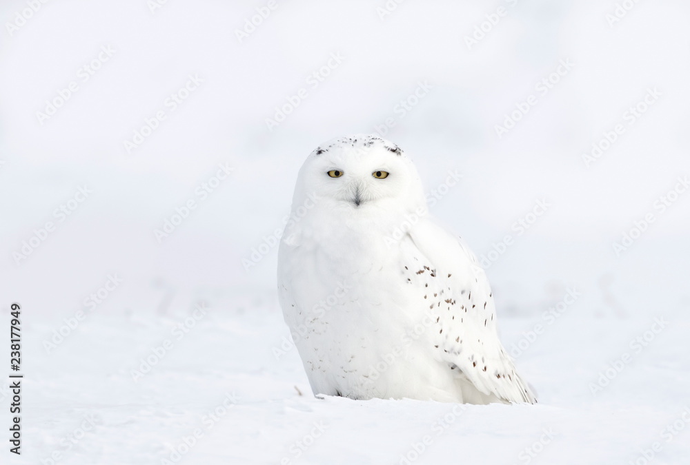 Male Snowy owl (Bubo scandiacus) sitting in a snow covered cornfield in winter in Ottawa, Canada