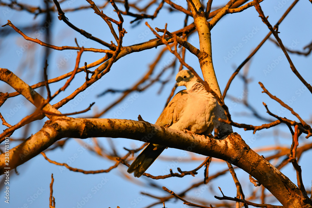 One dove on a tree, a gray bird looking down, a photo taken on a telephoto lens.