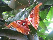 Kupu Gajah Or Attacus Atlas, Brown Butterfly Perch On Trees, Rare Animals In Asia
