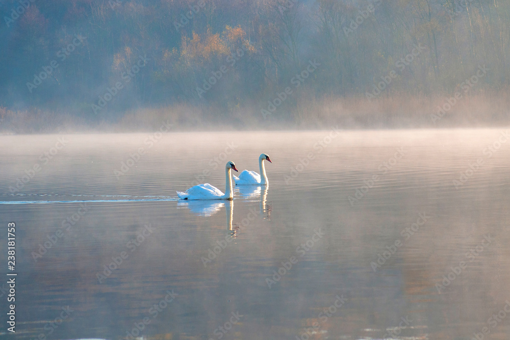 White swans on a colorful lake