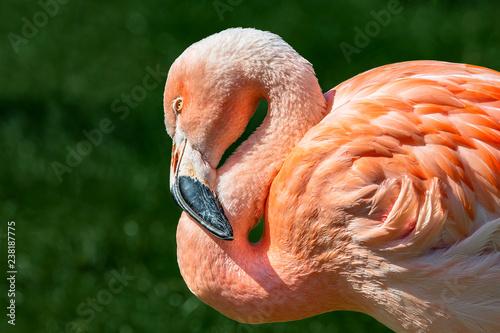 Resting rosy Chilean flamingo at sunset portrait, closeup, details