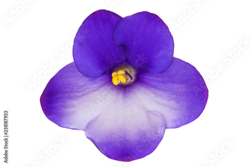 Fotografía Blue african violet flower (saintpaulia) isolated on white background, closeup