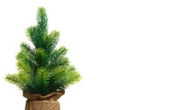 Closeup Small Christmas Green Tree Empty Without Decorations In A Pot Wrapped With Copy Space  Isolated On White  Background