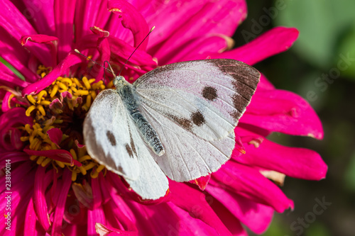 Deurstickers Roze White butterfly Pieris brassicae,on purple flower
