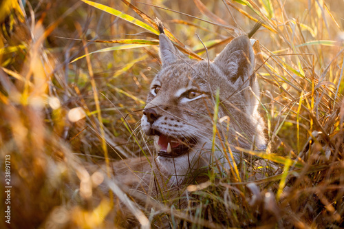 Abordable Eurasian Lynx, portrait in autumn field