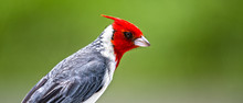 Red Crested Cardinal Bird On Hawaiian Islands
