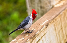 Red Crested Cardinal Bird On H...