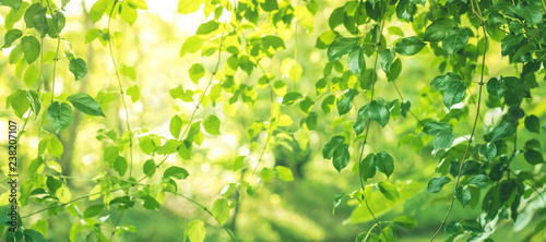 Poster Printemps Blurred of leaf bokeh in garden morning background,spring summer season or green concept