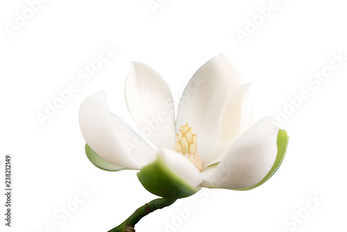 White magnolia flower on isolated white background.