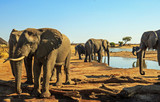 Fototapeta Sawanna - Beautiful close up  view from camp of African elephants at a waterhole with a vibrant blue sky and natural dry arid savannah in the background. Hwange National Park, Zimbabwe