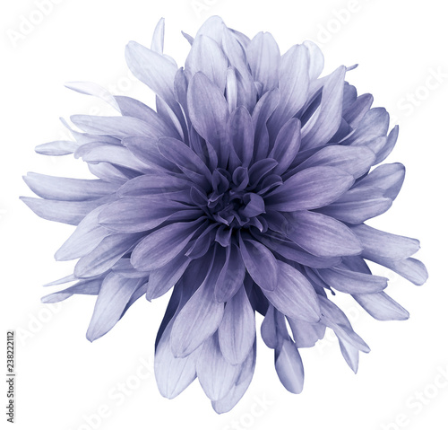 Poster de jardin Dahlia Violet dahlia flower white background isolated with clipping path. Closeup. For design. Nature.