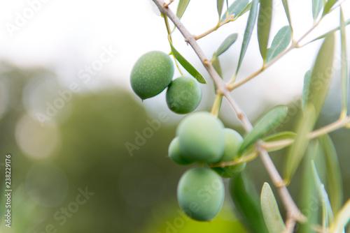 olivo olivas aceitunas verdes en arbol aceite Canvas Print