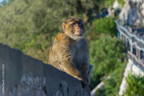 Fotografie, Obraz  Monkey from Gibraltar