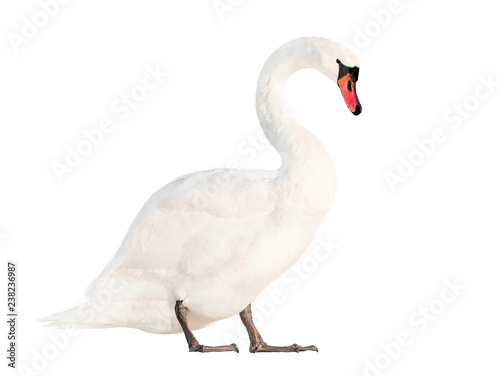 Poster Cygne white swan isolated on white background