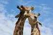 Giraffes sharing secrets