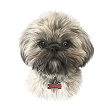 Shih Tzu Or Chrysanthemum Dog ...