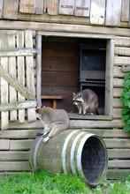 Raccoon (Procyon Lotor) Sits On A Barrel