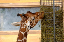 Giraffe Reaching Up To Feeder For A Bite Of Hay