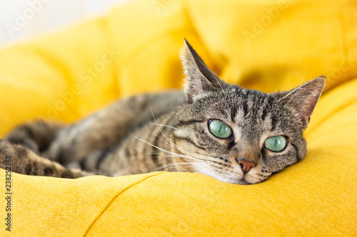 Foto auf Acrylglas Katze Cute tabby cat with green eyes lies on bright yellow bean bag. Boring mood.