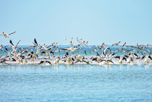 White Pelican Colony Taking Of...