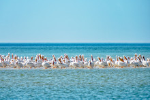 White Pelicans Resting On Sandbar As Tide Rises