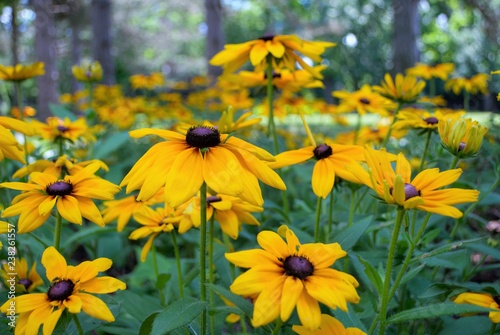 Close up of a black eyed susan in the garden Fototapet