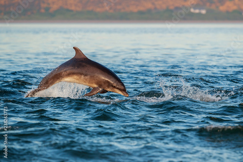 Slika na platnu Happy playful wild bottlenose dolphins