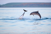 Happy Playful Wild Bottlenose Dolphins