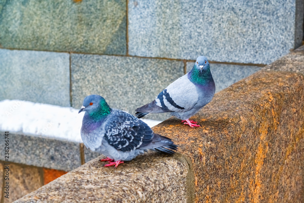 Wild pigeons stand on the stone parapet of the bridge.