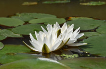 White Water Lilies With Green Petals On The Round Large Leaves On A Flat Surface Of The Pond