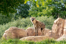 Hyena At The Zoo With Rocks, T...