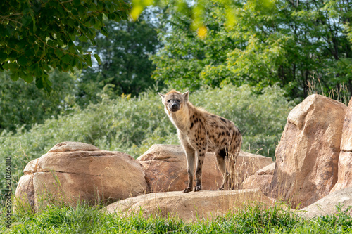 Hyena at the Zoo with Rocks, Trees, and Grass Wallpaper Mural